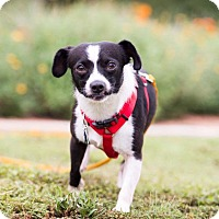 Adopt A Pet :: Fred Astaire - Austin, TX