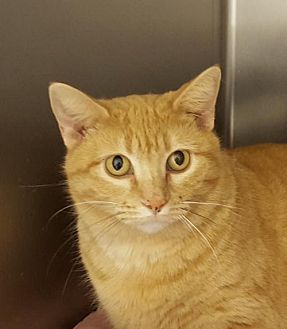 Domestic Shorthair Cat for adoption in Lago Vista, Texas - Butterscotch