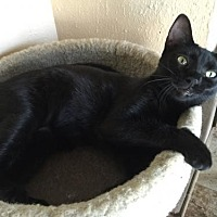Domestic Shorthair Cat for adoption in Land O Lakes, Florida - Froggy