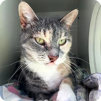 Domestic Shorthair Cat for adoption in Columbia, Illinois - Kasey