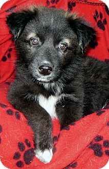 Husky/Border Collie Mix Puppy for adoption in Normandy, Tennessee - Hildy