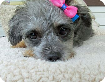 Yorkie, Yorkshire Terrier/Miniature Poodle Mix Dog for adoption in Baltimore, Maryland - Trixie