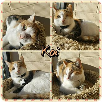 Domestic Shorthair Cat for adoption in Garden City, Michigan - Koi