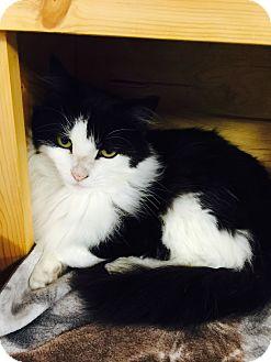 Domestic Mediumhair Cat for adoption in Holland, Michigan - Kulu