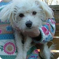 Adopt A Pet :: Cotton - Rochester, NY