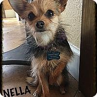 Adopt A Pet :: Nella - Tempe, AZ