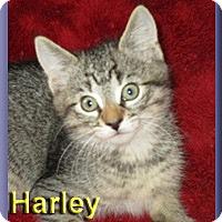 Adopt A Pet :: Harley - Aldie, VA