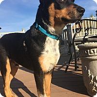 Adopt A Pet :: Zuma - Joliet, IL