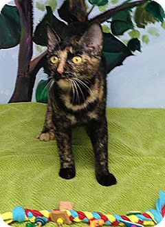 Domestic Shorthair Kitten for adoption in Patterson, New York - Sweet Pea