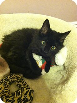 Domestic Mediumhair Kitten for adoption in Chesterfield Township, Michigan - Jingles