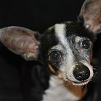 Rat Terrier Dog for adoption in Spring Lake, New Jersey - Steve