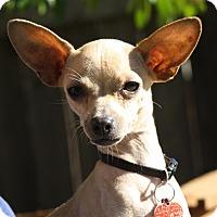 Adopt A Pet :: Sprinkles - Dallas, TX