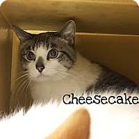 Adopt A Pet :: Cheesecake - Foothill Ranch, CA