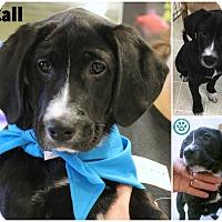 Adopt A Pet :: McCall - Kimberton, PA
