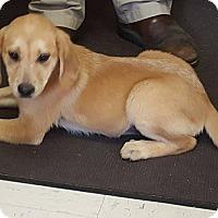 Adopt A Pet :: Giselle - Burlington, VT