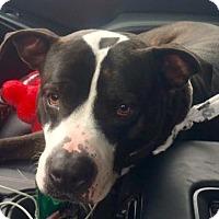 American Pit Bull Terrier Mix Dog for adoption in Binghamton, New York - Bruno