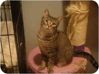 Domestic Shorthair Cat for adoption in Muncie, Indiana - Luke--PETSMART