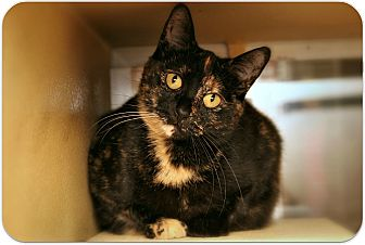 Domestic Shorthair Cat for adoption in Sterling Heights, Michigan - Sassy - ADOPTED!