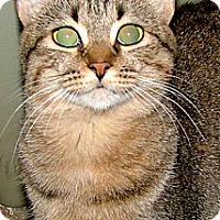 Domestic Shorthair Cat for adoption in Chattanooga, Tennessee - Tigee