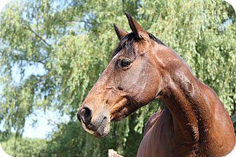 Grade/Quarterhorse Mix for adoption in Saugerties, New York - Haddie