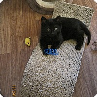 Adopt A Pet :: Soot - Kirkwood, DE