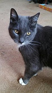 Domestic Shorthair Cat for adoption in Redding, California - Missy