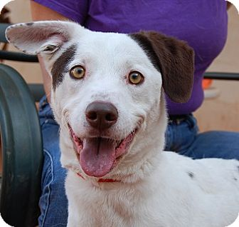 Australian Cattle Dog Mix Dog for adoption in Las Vegas, Nevada - Jingle