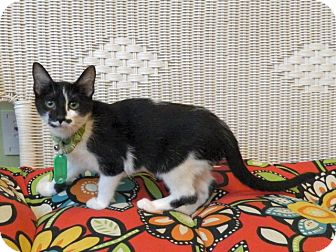 Domestic Shorthair Kitten for adoption in The Colony, Texas - Betty