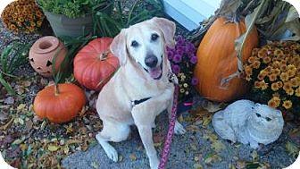 Golden Retriever/Labrador Retriever Mix Dog for adoption in Lowell, Massachusetts - Maggie