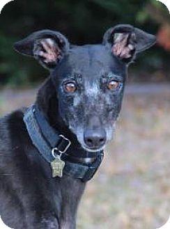 Greyhound Dog for adoption in Nashville, Tennessee - Liru