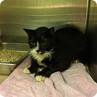 Domestic Shorthair Cat for adoption in Trenton, New Jersey - Endearing Edward