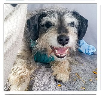 Schnauzer (Miniature)/Jack Russell Terrier Mix Dog for adoption in Redding, California - Loyal Rokkie so cute