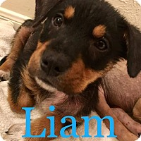 Adopt A Pet :: Liam - ROSENBERG, TX