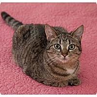 Adopt A Pet :: Hopi - Alexandria, VA
