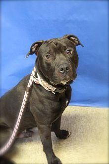 Labrador Retriever Mix Dog for adoption in Brookhaven, New York - Huck