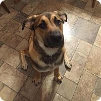 Adopt A Pet :: Shep - Saskatoon, SK