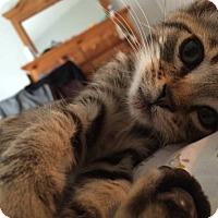 Adopt A Pet :: Skittles (brown tabby kitten) - New Smyrna Beach, FL