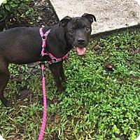 Labrador Retriever Mix Puppy for adoption in Tampa, Florida - Dorothy