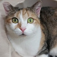 Calico Cat for adoption in Chino, California - Daisy Duke