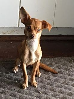 Chihuahua Mix Dog for adoption in Dallas, Texas - Twiggy