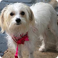 Adopt A Pet :: Salsa - Norwalk, CT