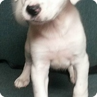 Adopt A Pet :: Jarrah - East Hartford, CT
