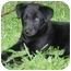 Photo 2 - Labrador Retriever Mix Puppy for adoption in Kingwood, Texas - Mini Lab Babies
