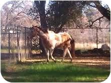 Quarterhorse/Paint/Pinto Mix for adoption in El Dorado Hills, California - Chief