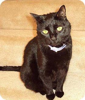 Domestic Shorthair Cat for adoption in N. Billerica, Massachusetts - Miss Jackson