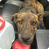 Adopt A Pet :: Pock - Valley Springs, CA