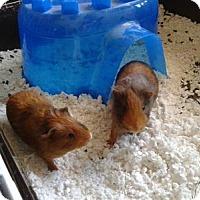 Adopt A Pet :: Fred & George - Brooklyn Park, MN