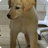 Adopt A Pet :: Kaylee - Foster, RI