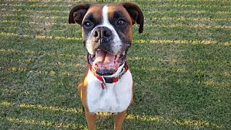 Boxer Dog for adoption in Hurst, Texas - Hashtag