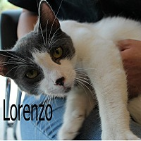 Domestic Shorthair Cat for adoption in Wichita Falls, Texas - Lorenzo